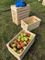 oogst-appelen-Lintjesweg-Munstergeleen-2019-002